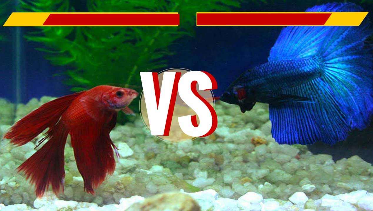 Fish fight incompatible fish