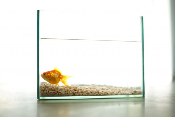 Gold fish in a small tank