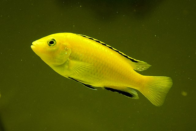Electric yellow cichlid fish