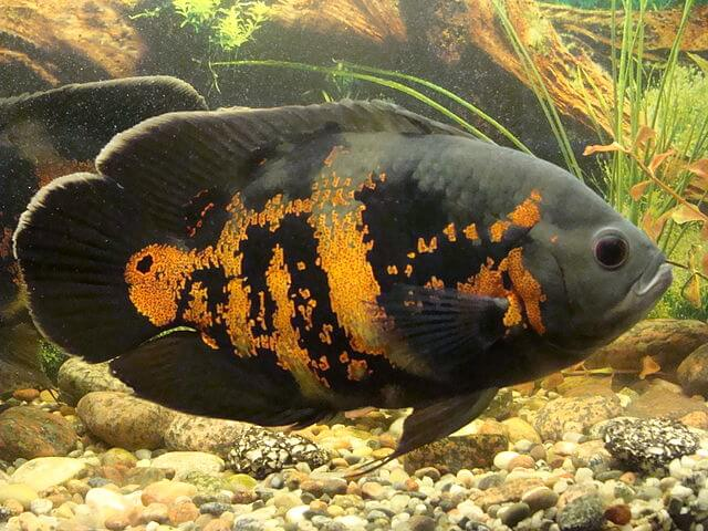Red tiger oscar cichlid picture